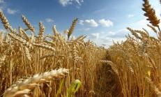 Çağımızın Biyolojik Silahı Buğday