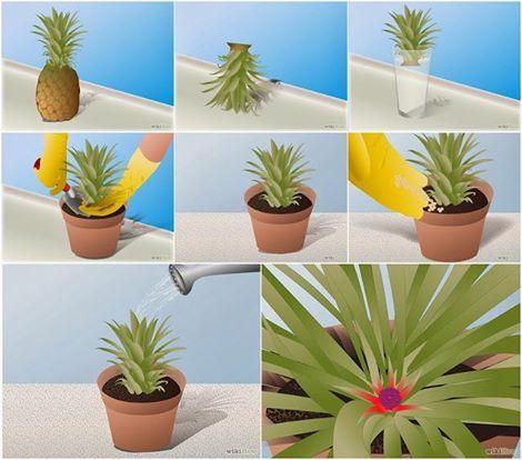 Saksıda Sihirli Ananası Yetiştirin