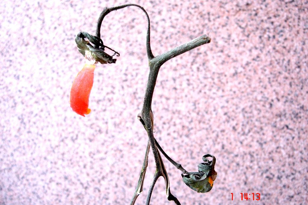 Domates Sapı İle Karıncıları Evinizden Uzaklaştırın