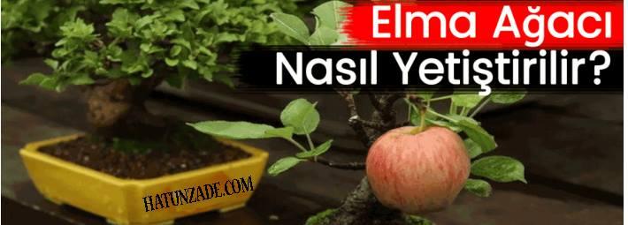 Evde Çekirdekten Doğal Elma Yetiştirme