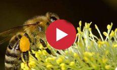 Arılar Nasıl Bal Yapar?