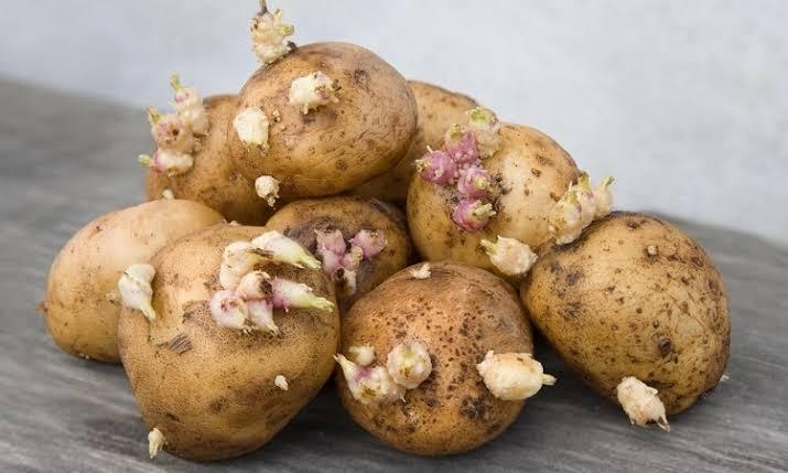 Patates Çimlenmesi Nasıl Önlenir